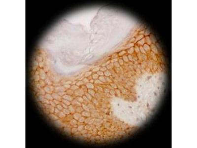 anti-Cadherin Pan Antibody