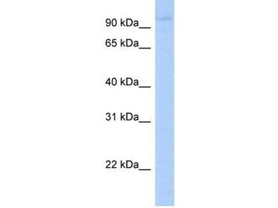 anti-LRRC8A antibody
