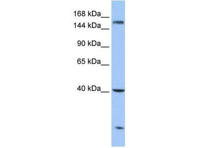 anti-CPD (Carboxypeptidase D) antibody