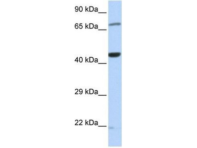 anti-Tu Translation Elongation Factor, Mitochondrial (Tufm) (Middle Region) antibody