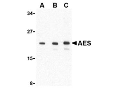 anti AES / ESP1 (C-term)