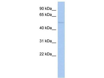 anti-tigger transposable element derived 4 Antibody