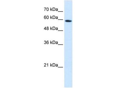 anti-Pregnancy Specific beta-1-Glycoprotein 9 (PSG9) antibody