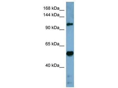 anti-COBLL1 antibody