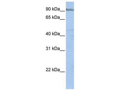 anti-PCDHA4 (PCDHA6) antibody