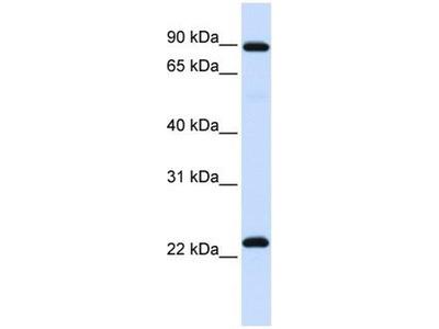 anti-Regulator of G-Protein Signalling 19 (RGS19) antibody