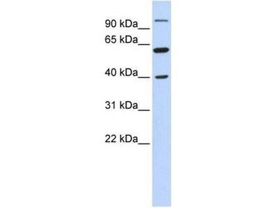 anti-Leucine Zipper-EF-Hand Containing Transmembrane Protein 2 (LETM2) antibody