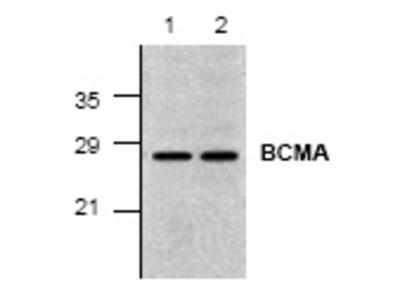 anti CD269 / BCMA