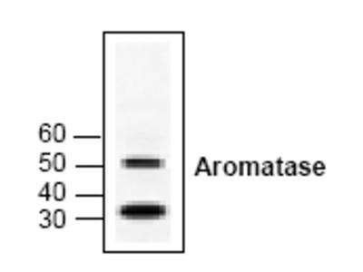 anti Aromatase