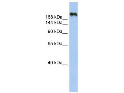 anti-CNTNAP4 antibody