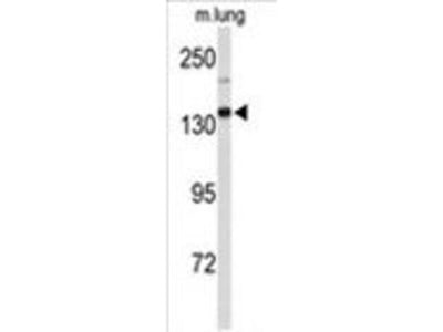 anti-XDH (Xanthine Dehydrogenase) antibody