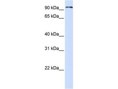 anti-Protocadherin beta 13 (PCDHB13) antibody