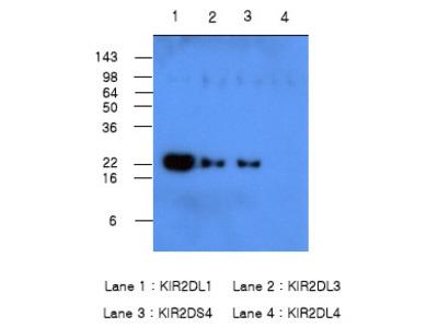 anti CD158a / KIR2DL1