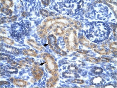 anti-Olfactory Receptor, Family 13, Subfamily C, Member 9 (OR13C9) antibody