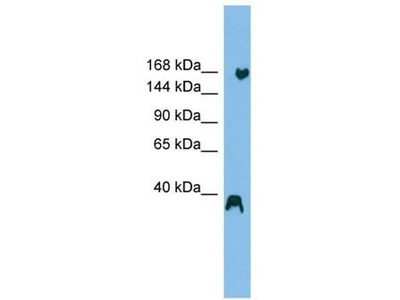 anti-listerin E3 ubiquitin protein ligase 1 (LTN1) antibody