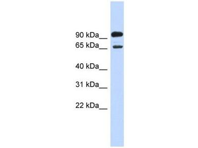 anti-Like-Glycosyltransferase (LARGE) antibody