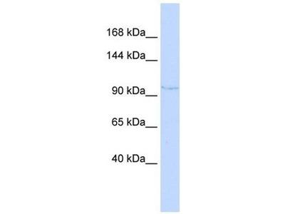 anti-N-Deacetylase/N-Sulfotransferase (Heparan Glucosaminyl) 4 (NDST4) antibody