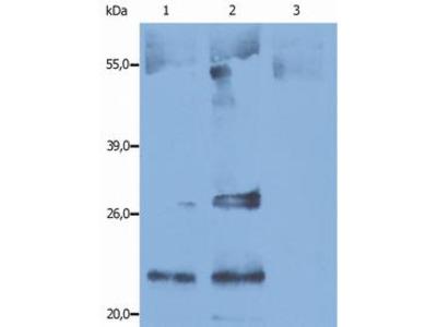 CD9 mouse monoclonal antibody, clone IVA50, Purified