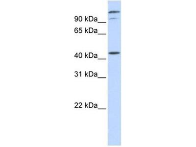 anti-AFG3L2 antibody
