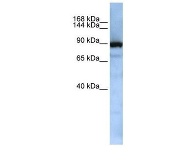 anti-Exportin, tRNA (Nuclear Export Receptor For TRNAs) (XPOT) antibody