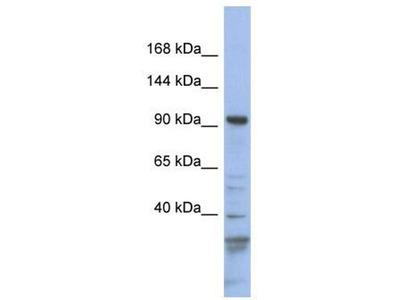 anti-MYO1C (MYO1E) antibody