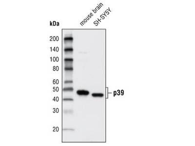 p39 Antibody