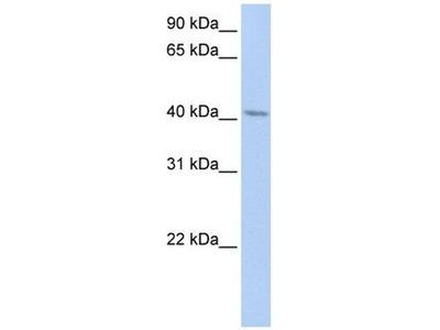 anti-ERLIN1 (ER lipid raft associated 1) antibody