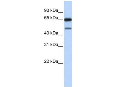 anti-Nuclear Receptor Subfamily 2, Group C, Member 2 (NR2C2) (N-Term) antibody