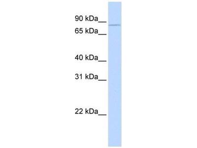 anti-CPEB3 antibody
