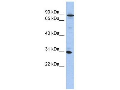 anti-KANK3 antibody