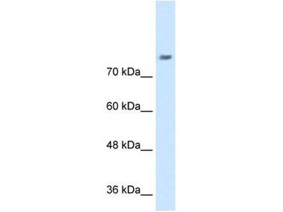 anti-Neuronal Cell Adhesion Molecule (NRCAM) (N-Term) antibody