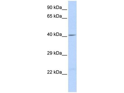 anti-CX43 (GJA1) antibody