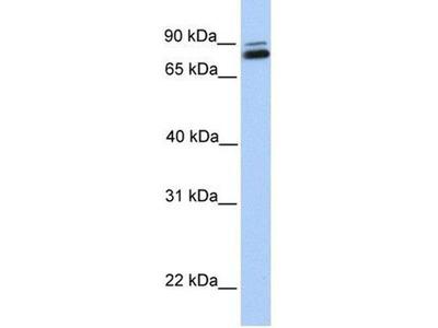 anti-gamma-Glutamyltransferase 7 (GGT7) (C-Term) antibody