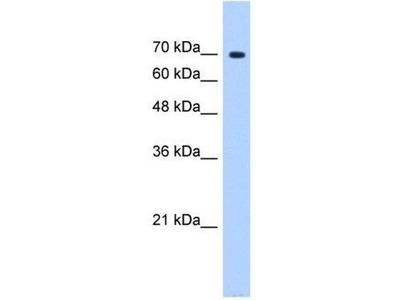 anti-SUGP1 (SF4) antibody