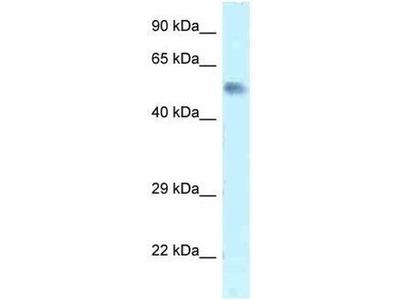 anti-ZFP472 (zinc finger protein 472) antibody