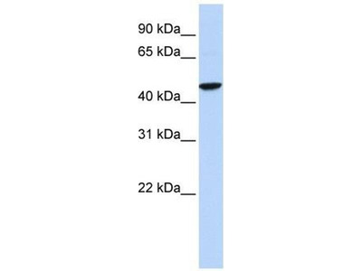 anti-gamma-aminobutyric Acid (GABA) Receptor, rho 2 (GABRR2) antibody