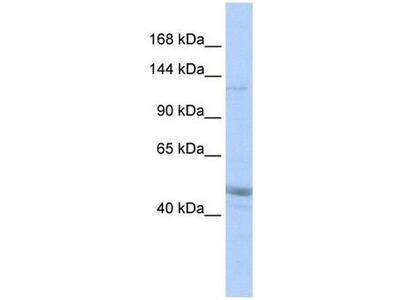 anti-KIAA0319-like (AU040320) antibody