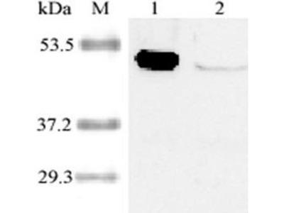 anti-Indoleamine 2,3-Dioxygenase 1 (IDO1) antibody