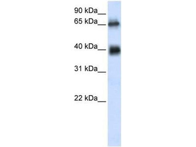 anti-Zinc Finger with UFM1-Specific Peptidase Domain (ZUFSP) (Middle Region) antibody