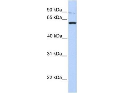 anti-PTPRA antibody