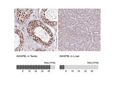 Anti-AKAP8L Antibody