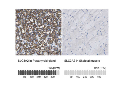 Anti-SLC3A2 Antibody