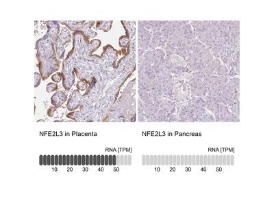 Anti-NFE2L3 Antibody