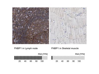 Anti-FNBP1 Antibody