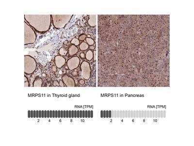 Anti-MRPS11 Antibody