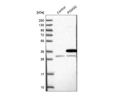Anti-PSMG2 Antibody