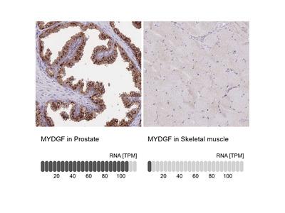 Anti-MYDGF Antibody