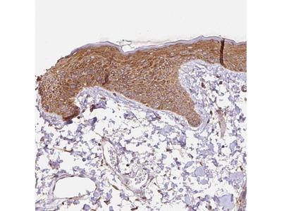 Anti-COX8A Antibody