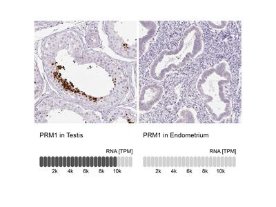Anti-PRM1 Antibody