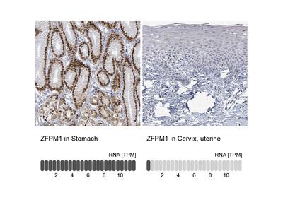 Anti-ZFPM1 Antibody